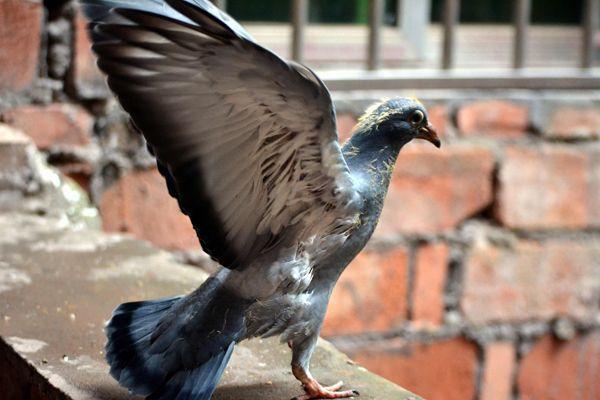 幼鸽下窝后的饲养管理
