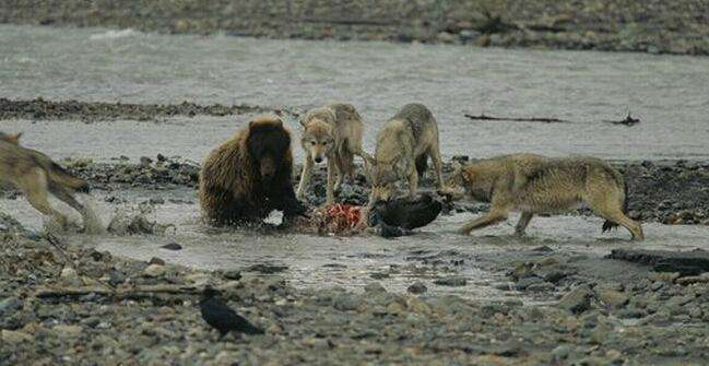 狼群捕驼鹿,不速之客夺食