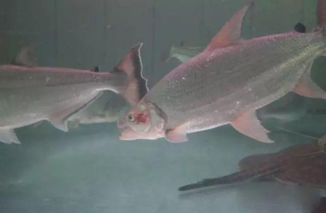 龙巅鱼邻谈:6米30吨水巨型鱼缸制作进鱼全记录