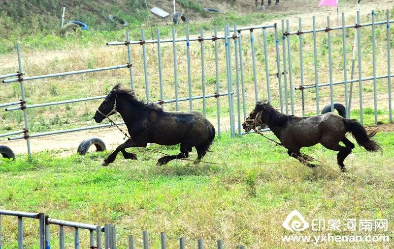 六一节,郑州郊外看斗马!黄河大野斗,独此一家!