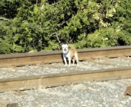 吉娃娃在铁路上发呆,网友下班经过感觉不对劲