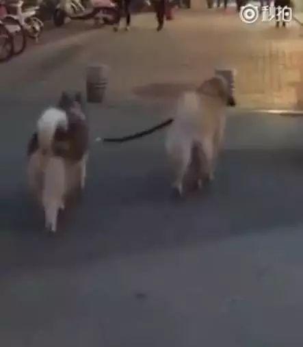 金毛带二哈去散步,结果意外却发生了,二哈:这不能怪我
