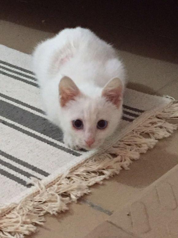 花500块钱买了只小白猫,喂养半年后,噩梦就开始了
