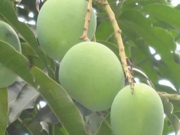 攀枝花芒果网:攀枝花芒果和香蕉放在一起竟然会发生这么神奇的事情