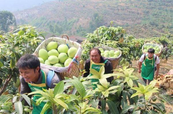 攀枝花芒果熟了!年产15万吨芒果远销海外