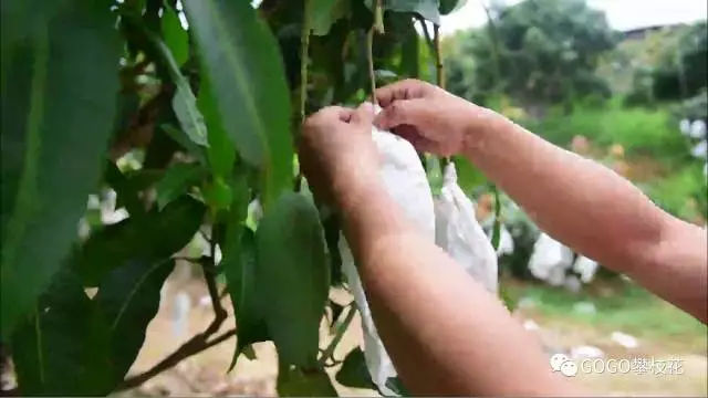 攀枝花芒果 圈来国际粉无数