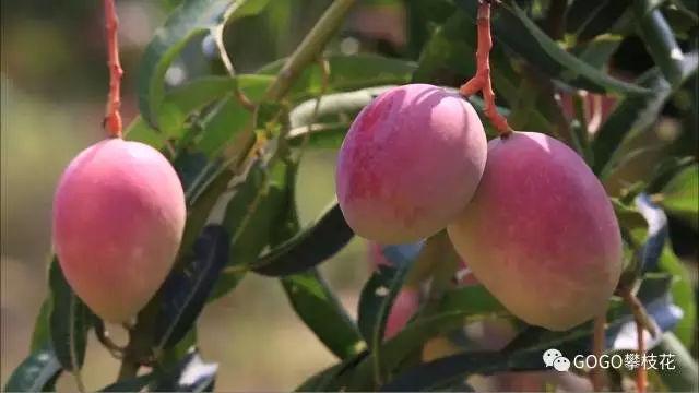 攀枝花芒果网:攀枝花芒果 圈来国际粉无数