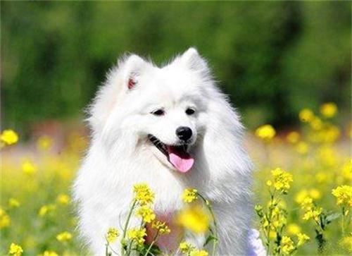 養寵知識:狗狗罐頭有哪些口味,博美能吃雞肉味罐頭嗎