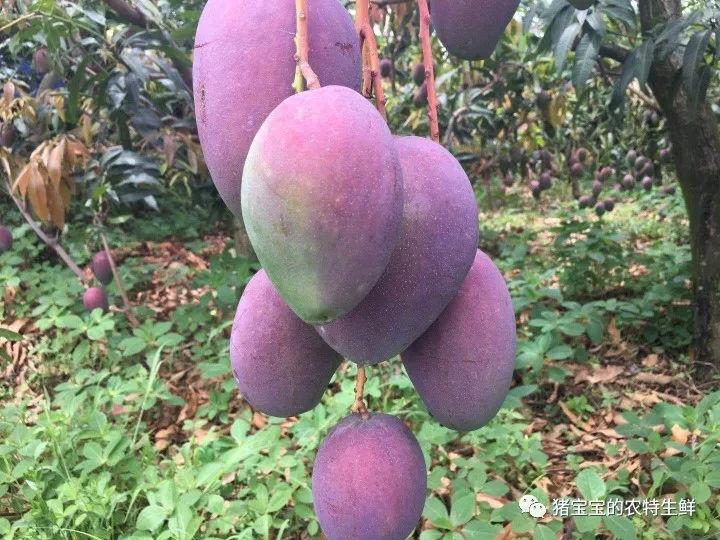 攀枝花芒果网:攀枝花芒果,甜蜜你的整个夏天!