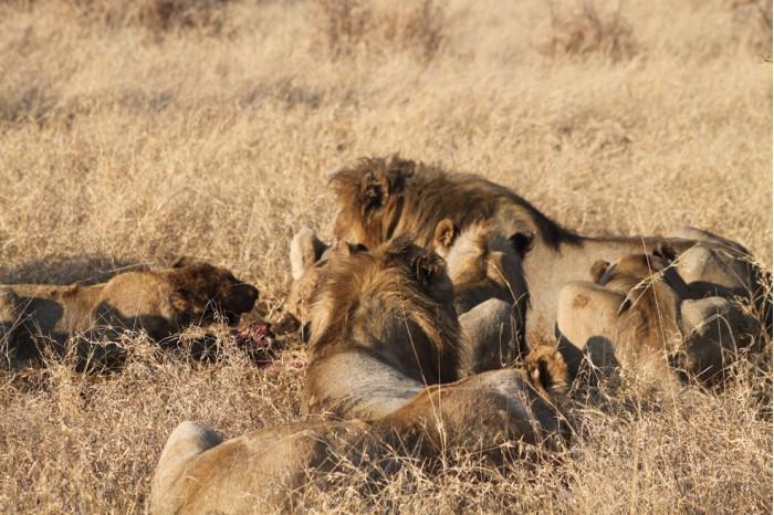 闯入保护区非法捕猎的犀牛偷猎者3人组命丧狮群的照片