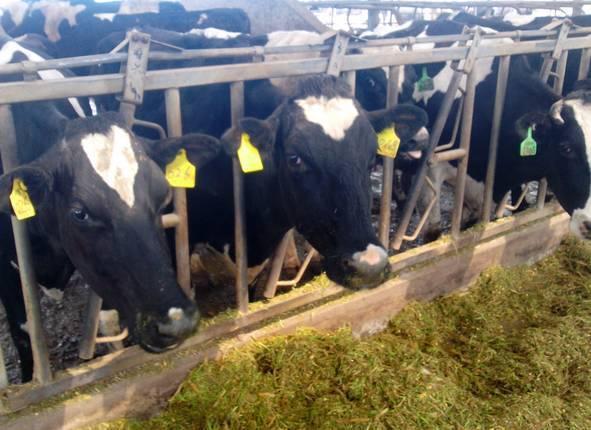 牛粪卧床垫料应用技术详解—奶牛粪便资源化管理模式