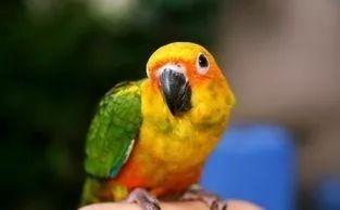 如果你养了金太阳鹦鹉,注意要做好这几点!