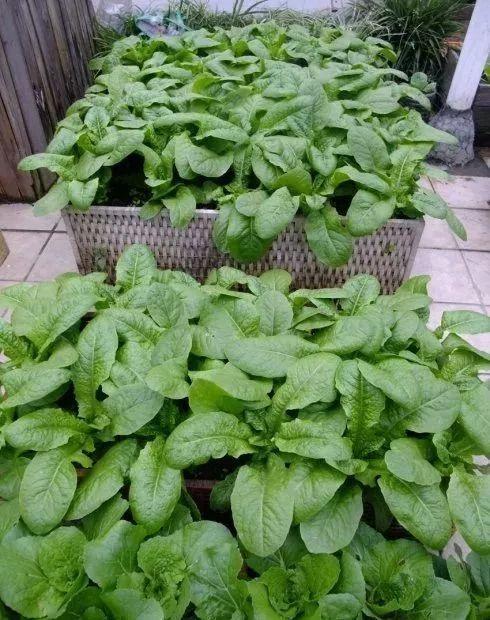 30平米屋頂小菜園,她用空油桶和自制木箱花池,種出了幾十種蔬菜,一家人吃不完