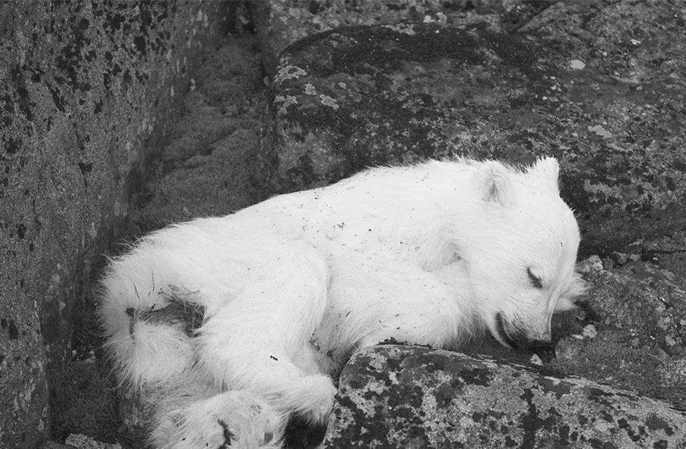 北极迎来32℃的高温,北极熊等面临死亡威胁
