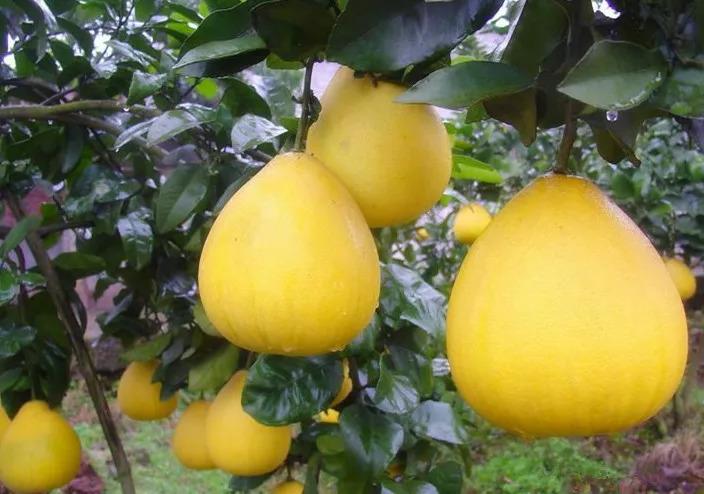 一個柚子等于六味藥,全家大小的小毛病都用得上!