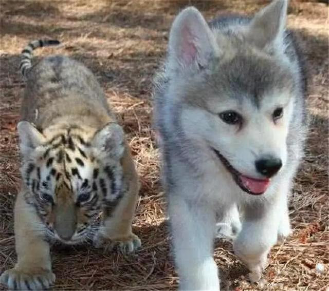 小老虎和二哈一同长大,如今每天被哈士奇骚扰,二哈:这猫真好玩