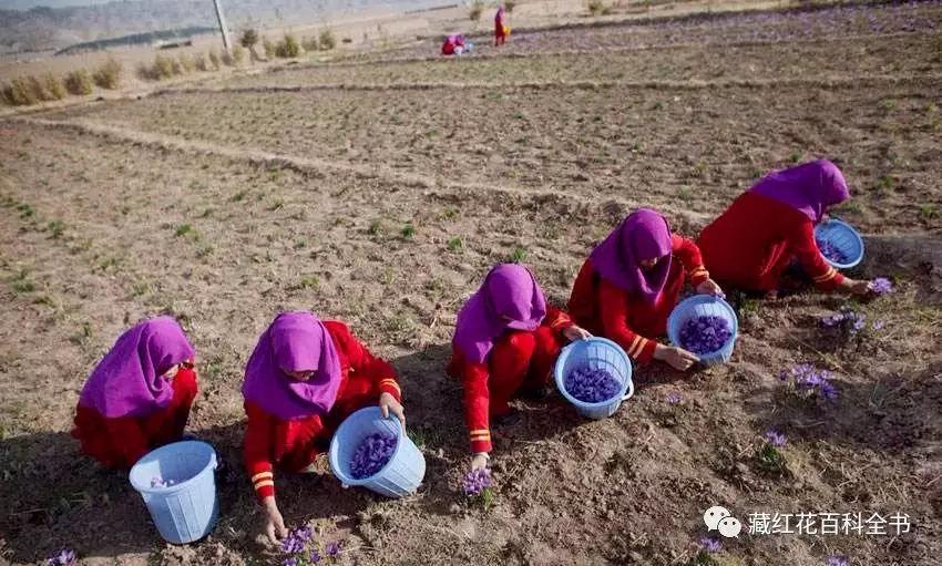 揭秘:伊朗藏红花的骗局以及真假辨别,不会辨别的千万要小心,不
