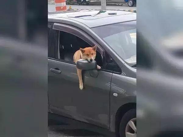 """狗子坐在副驾驶等铲屎官回来,""""生不如死""""的表情太搞笑了"""