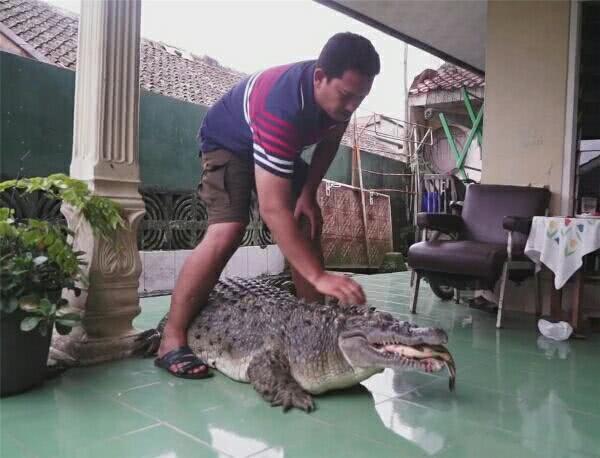 宠物鳄鱼被男子当猪养,胖到200多斤,双下巴明显