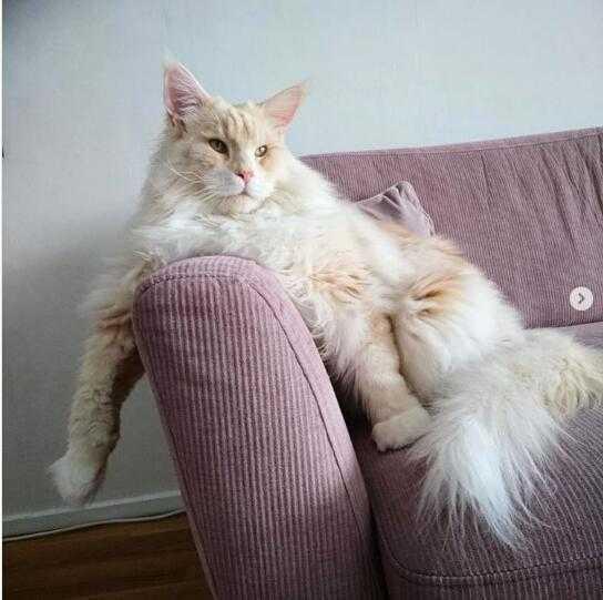 拥有70多万粉丝的缅甸猫,已经不能用小家碧玉来形容了!