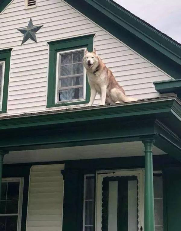 被困屋顶上的哈士奇其实玩得很开心,根本不想被救啊!