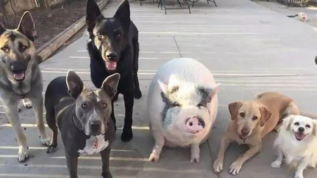 一只猪和5条狗的幸福生活,猪直接被带偏了