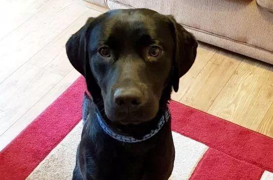 这只巴哥犬名叫Monty,那天它趁主人不注意偷吃了一串烤肉串