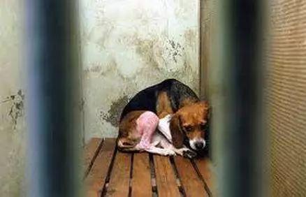 """比格犬:""""我生下来,就成为了人类做实验的动物!"""""""