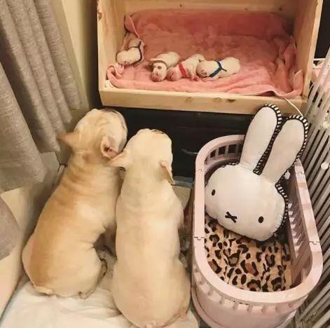 如何判断狗狗是否要难产?为狗狗接生要准备什么?