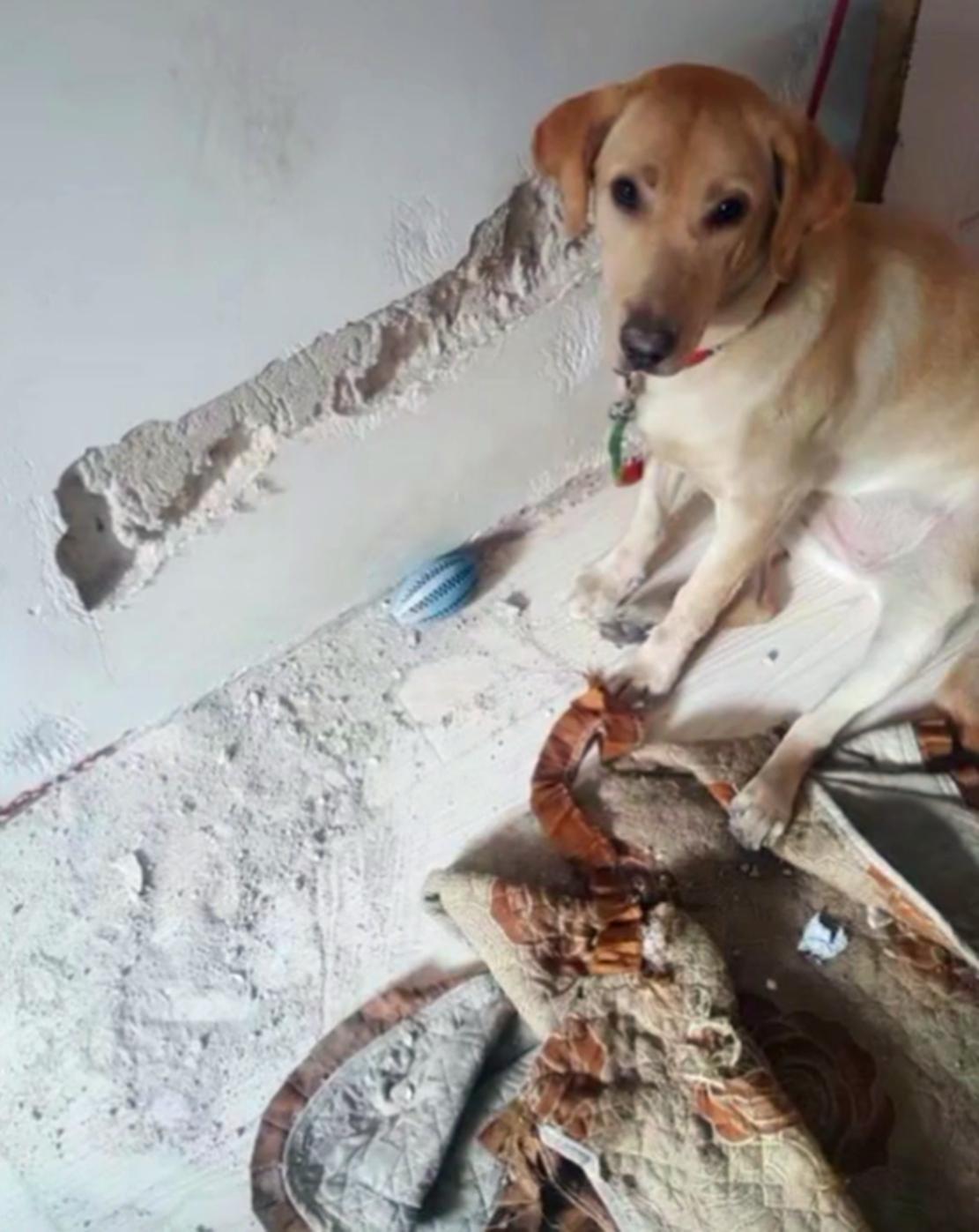 拉布拉多啃墙啃上瘾了,啃完姥姥家啃自己家,墙皮都被啃脱了