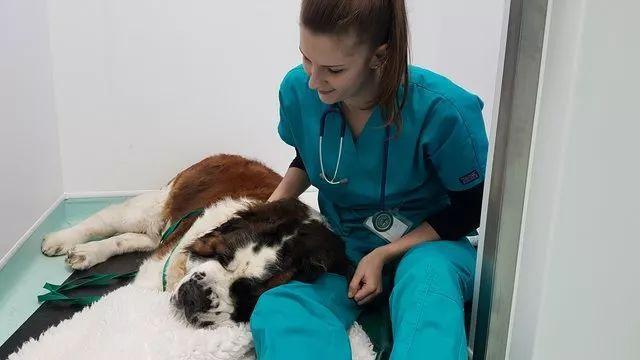 """圣伯纳犬被主人送进医院里,医生从它肚子""""掏""""出一些玩具"""