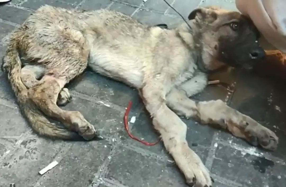 狗贩用水管给狗狗插胃灌水,虽然很痛但它还在摇尾巴!