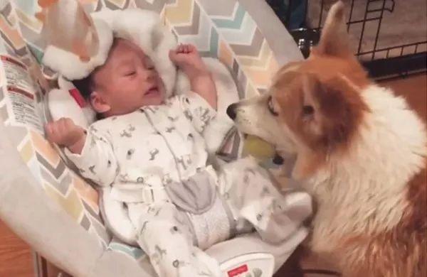 小宝宝哭泣,柯基两次叼球给他:不哭不哭,球球给你玩!