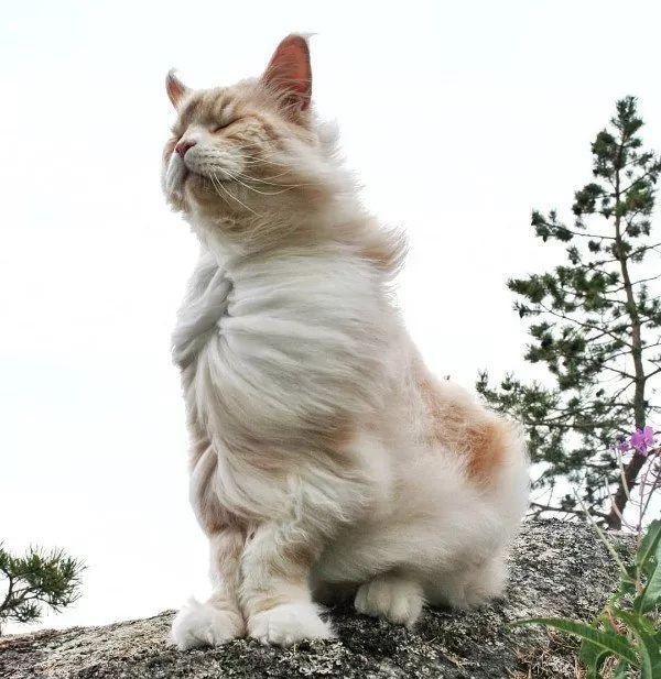 这只身形巨大的缅因猫叫Lotus,如同一个小狮子