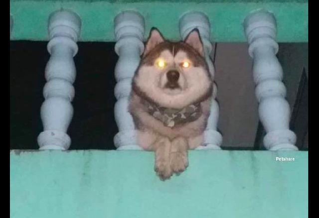 铲屎官回家晚了,看见哈士奇在二楼等着自己,眼神有些吓人