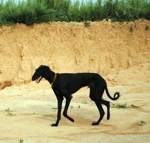 中国唐狗已经被犬协会所认可!它们值得被保护!