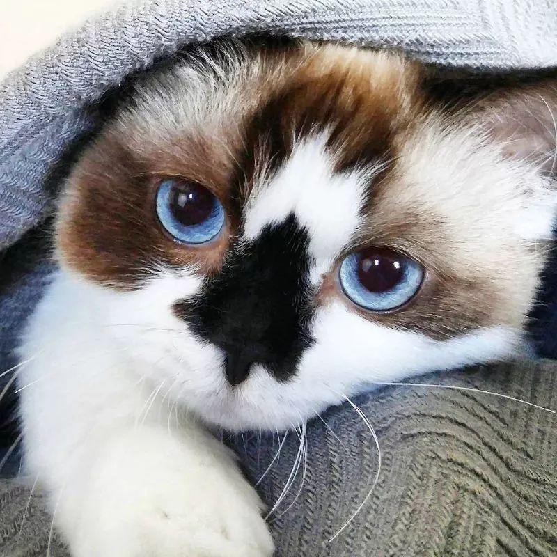 这只叫做Albert的短腿猫咪,在instagram有着45万粉丝