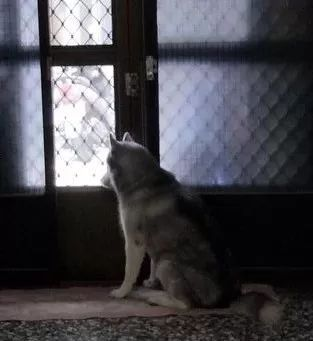 爸妈外出旅游,找人照顾家里的二哈,它却一直守在门口
