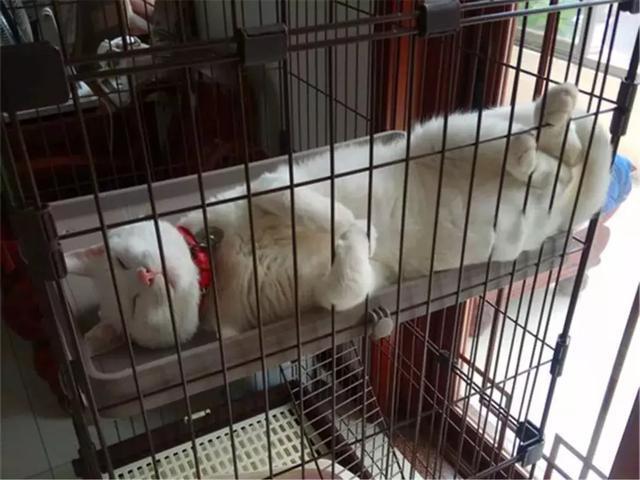 猫咪绝育手术后该怎么护理呢?铲屎官需要学习的技能