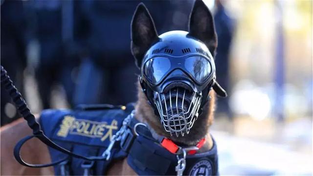 保护警犬,警察专门为爱犬定制头盔,防止狗耳被伤!