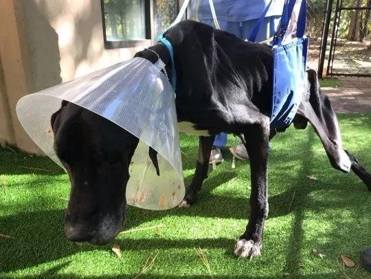 美国发生了一起残忍的虐狗事件,狗被主人饿到啃食自己的腿