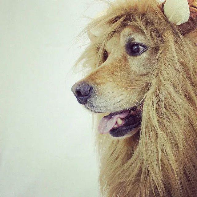 这是一只文质彬彬的金毛,它的装扮比我都多