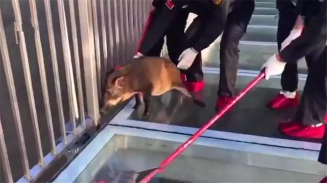 山猪误闯玻璃桥,一步三滑后被吓到脚软,保安送它回山