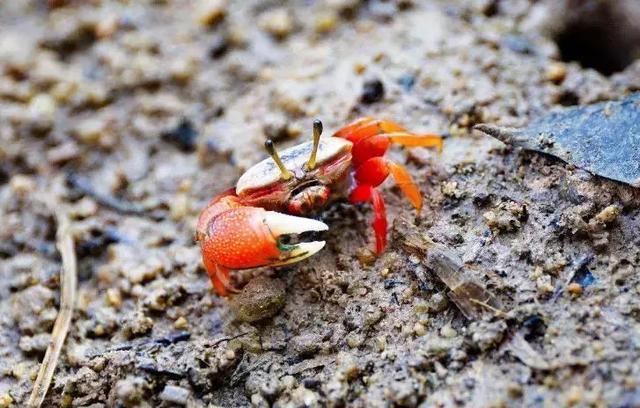 日本网友在家里养了一只宠物河蟹,半年后亲手将其做成味增汤