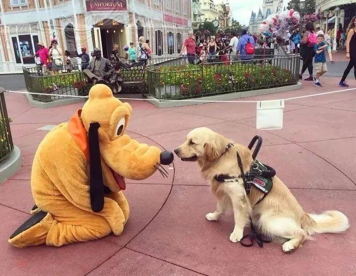 """只能工作,不许玩耍?服务犬大金毛看到人偶""""分心""""被骂"""