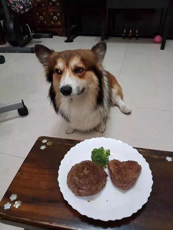 给柯基做了顿爱心大餐,这货竟然用表情鄙视女主人!