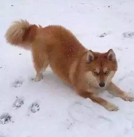 第一眼还以为是只狐狸,结果竟是二哈闯的祸