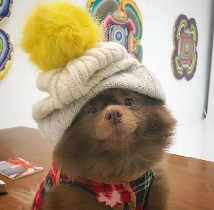 因长得太丑被遗弃,长的很像是小熊的博美Bert,逆袭成网红