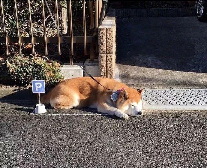 """日本一只肥柴柴,出去后就不爱回家,主人为它做了个""""停狗位""""!"""