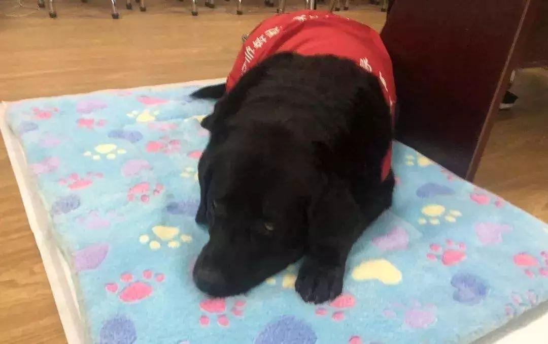 中国的第18只导盲犬珍妮退役,它最近一次乘坐地铁依然不顺利